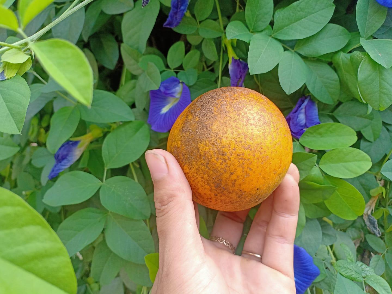 Trái cam Vinh rám nắng đang bày bán tại Cửa hàng thực phẩm hữu cơ Organica