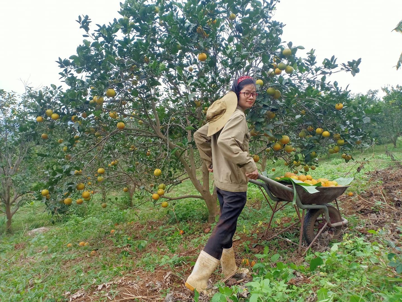 Vườn cam Vinh đã 3 năm không hóa chất cho những trái cam chất lượng tuyệt hảo