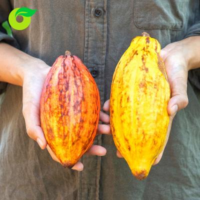 Bột cacao uống liền hữu cơ Dmbio