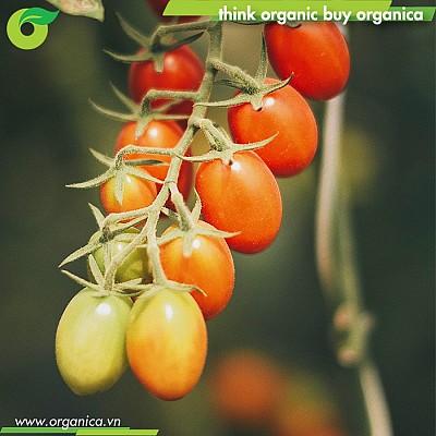 Cà chua bi cherry