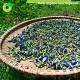 Hoa đậu biếc khô 25g